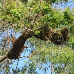 Bee swarm in eucalypt