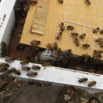 bees working on foundation