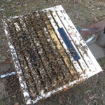 Bees on open hive