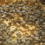 A frame of bees
