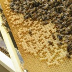 close up of bees on frame